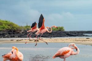 Flamingos take flight in the Galapagos Islands