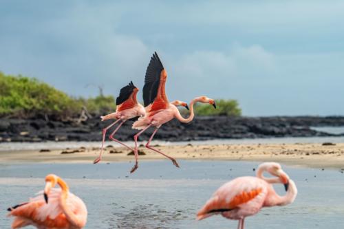 Flamingos de las Islas Galápagos