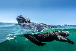 Marine iguana swiming in the Galapagos Islands
