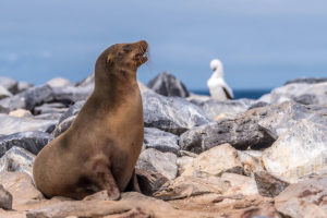 Nazca booby rests in background while Sea Lion gazes outwards in the Galapagos Islands
