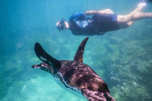 Snorkeling nexto to a penguin in the Galapagos Islands