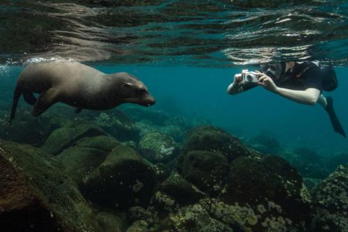 Buceo de superficie junto a un lobo marino en las Islas Galápagos
