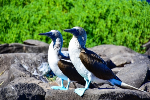 Blue-footed boobies in the Galapagos Islands