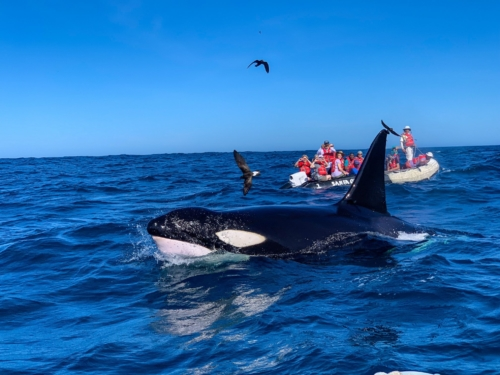Killer whale sighting in the Galapagos Islands