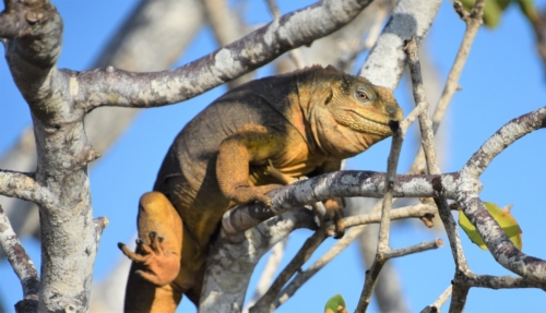 Land iguana on a tree in the Galapagos Islands