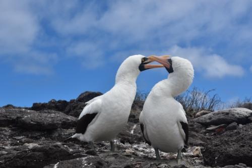Nazca boobies in the Galapagos Islands