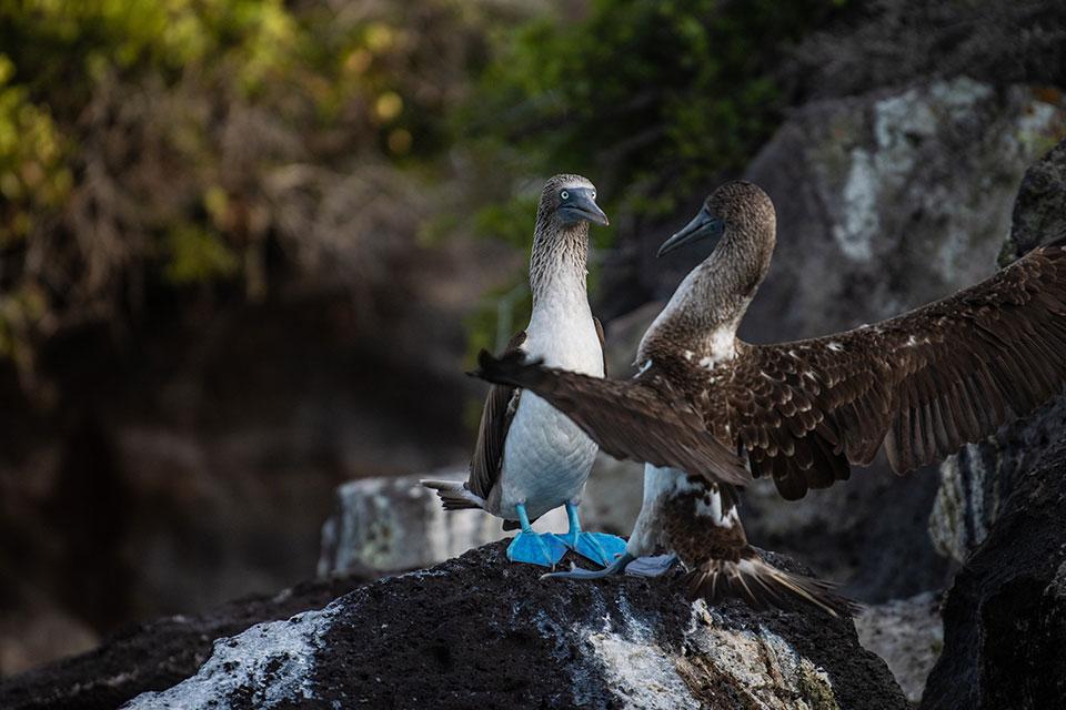 Quirky blue-footed boobies at Santa Fe Island, Galapagos