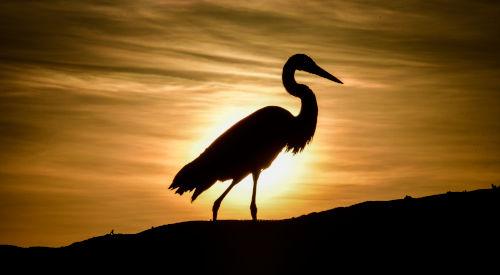 Garza al atardecer en Galápagos.