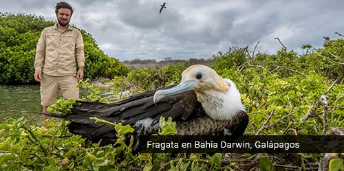 Fragata en Galápagos.