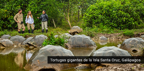 Tortugas gigantes en Galápagos.