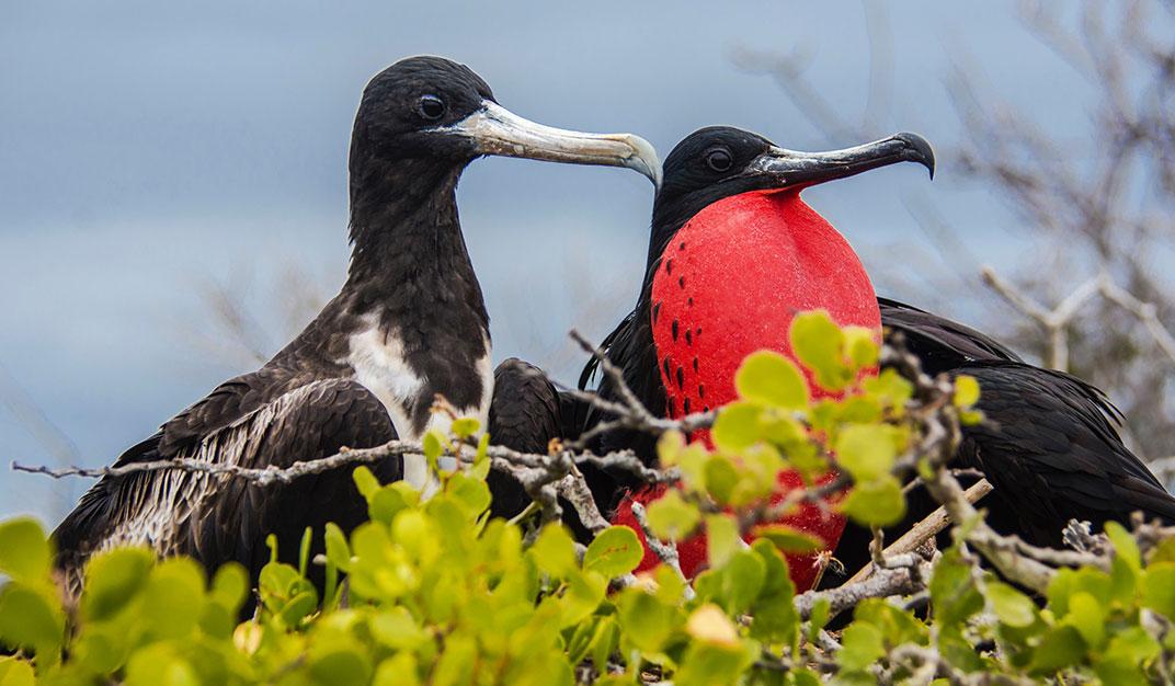 Frigate Bird Galapagos Islands